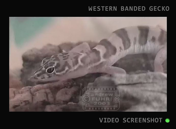 BB SLIDER RAISING AZ GECKO NATIVE video STILL web 01