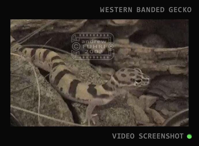 BB SLIDER RAISING AZ GECKO NATIVE video STILL web 02