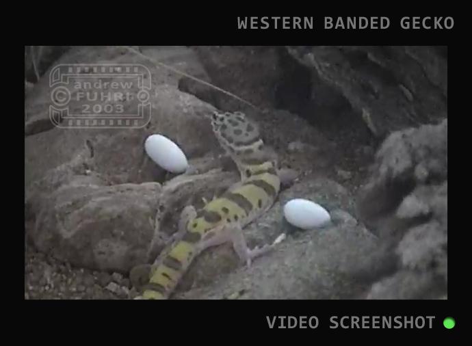 BB SLIDER RAISING AZ GECKO NATIVE video STILL web 03