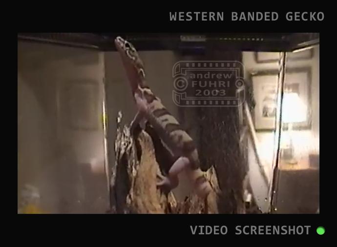 BB SLIDER RAISING AZ GECKO NATIVE video STILL web 04